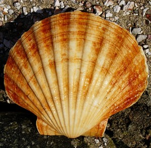 Hebridean Hand Dived- Scallop